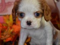Tiny Casper - ($1000.00) --Cavalier King