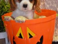Tiny CHARLIE--- ($1000.00) --Cavalier King Charles