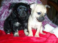 """Bet"" and ""Dot"" are 2 small woman chihuahua young"