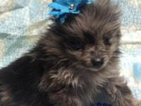 CKC TINY MERLE Pomeranian Puppy! This puppy is sweet,