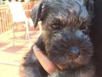 CKC Miniature Schnauzer puppy..ONE male raised in our