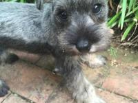 I have one tiny CKC female miniature schnauzer puppy