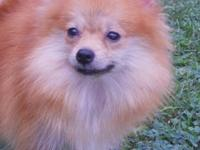 I have a CKC Registered Tiny Female Red Pomeranian for