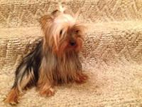 Tiffany is a teacup yorkie, weighing around 4 lbs. she