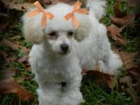 CKC Tiny Toy Female Poodle. She is almost 4 months old