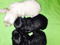 I have a litter of tiny toy poodle puppies for