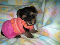 BEAUTIFUL SWEET SOCIALIZED PUPS. RAISED INDOORS AND