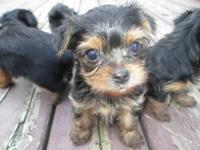 CKC REGISTERED YORKIE PUPS . ONE MALE ONE FEMALE