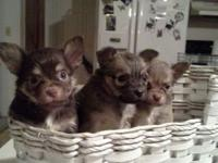1 sable female. 2 chocolate males. Sweet babys needs a