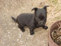 CKC Toy Chihuahua Male Pup Long Haired Black $200