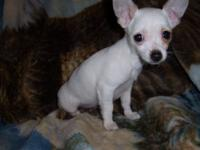 Issabella is a tiny toy white shorthair female