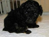 CKC Toy Tuxedo Poodle breeder/pet. Just sheared her for