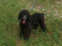 Peeta is a Lovely Little CKC registered poodle. His DAD