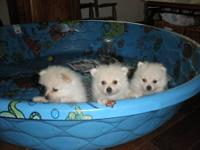 CKC Toy Pomeranians born 6/27/12. 3 males at $400 each.