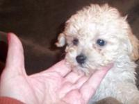 CKC registered Apricot female poodle. She will be 8