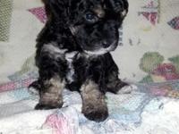 absolutely gorgeous black phantom toy poodle.