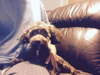6 month old chocolate female Toy poodle she isn't fixed