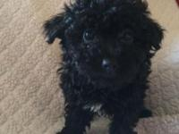 CKC Toy Poodle Female born on 5-7-15 which makes them 9
