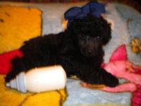 CKC toy poodle 8 weeks old 12-10-14 born 10-18-14 tails