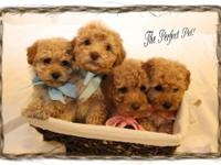CKC Toy Poodles - I have 4 toy poodle puppies (8 wks)
