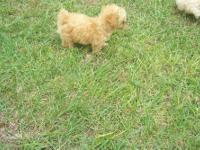 CKC Toy Poodle Puppies. I have a female that is white.