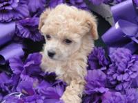 Wonderful, caring, toy poodle puppies. They have 1st