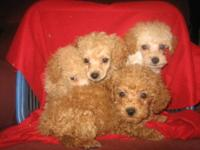 CKC Toy Poodle available ! He was born on 09-08-2013.