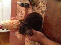 I have a female toy poodle that will be all set for her
