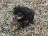 Lovely toy poodle young puppies. As much as date on