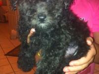 I have 2 adorable black toy poodle puppies for sale.
