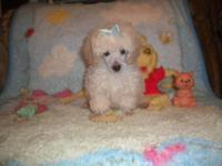 2 ckc male toy poodles 13 weeks old cream/white has had