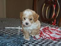Come check out these really cute Toy Poodles. Males and
