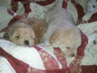 We have 2 adorable CKC registered poodles ready for new