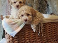 2 sweet little male puppies are looking for their