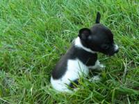 CKC REG.TOY RAT TERRIER GIRLS...ROXY AND STACY ARE 5