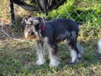 Top quality tiny female salt & pepper. 7 months old and
