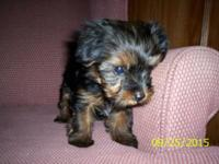 CKC female toy yorkie 9 wks old has had first shot and