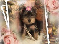 CKC Toy size Yorkie Girl... Ready Now! This little girl
