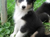 Stella is a very quite Tricolor Sheltie puppy. She has