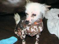 CKC reg. true hairless Chinese Crested proven stud for
