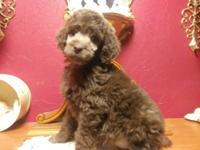 W e have ckc standard poodle puppies. We have silvers,