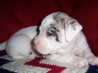 Description CATAHOULA AMERICAN FARM BULLDOGS 8 Weeks