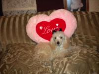 ckc white/cream male toy poodle almost 7months old has