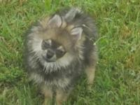 Ashley is a cute and sweet, 4 lb, wolf sable female