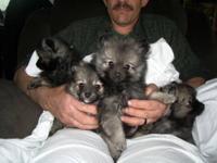 3-Boys 1-Girl Born on 3/20/12, Rare Wolf Sable Color,