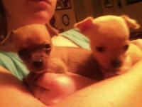 White and Blue splashed male Chihuahua pup. Mom is 3