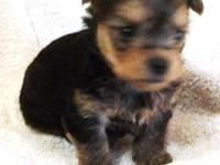 CKC Yorkie male born on December 3, 2013, and will be