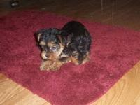 CKC Yorkie Female that is 10 weeks old. She weighs