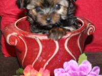 I have a very tiny female Yorkshire terrier puppy. She