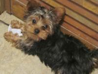 Female CKC Yorkie Puppy. 3 1/2 months. She is a spunkie